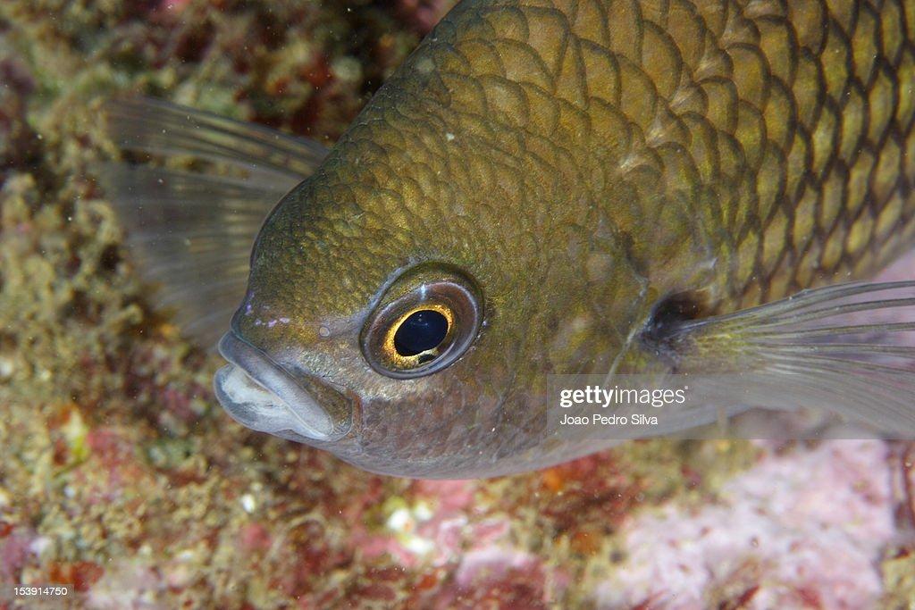 Green damselfish (Chromis chromis)