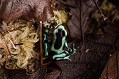 Dendrobates auratus green