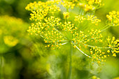 Green Dill Fennel Flower Close up macro background