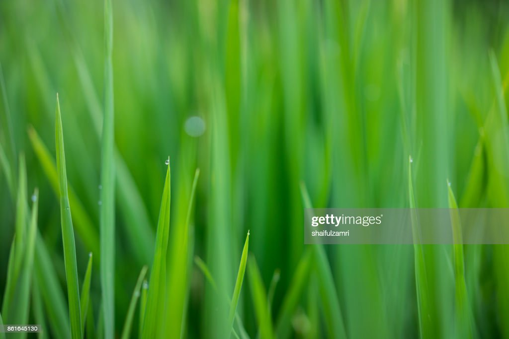 Green ear of rice in paddy rice field under sunrise in Bali, Indonesia. : Stock Photo