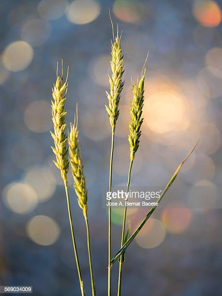 Green ears of wheat at sunset.