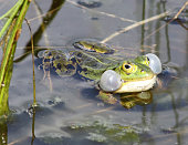 Water frogs are present throughout the Netherlands. Only from most Dutch Wadden Sea Islands observations are lacking.