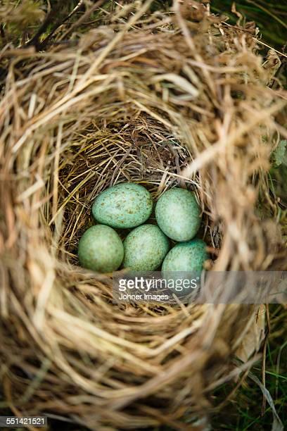 Green eggs in nest