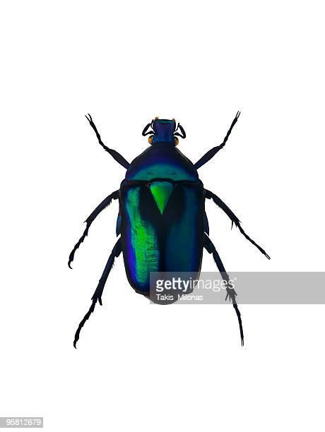 Green emerald beetle