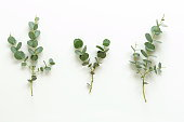 green eucalyptus branches on a white background.abstract. top view.copy space