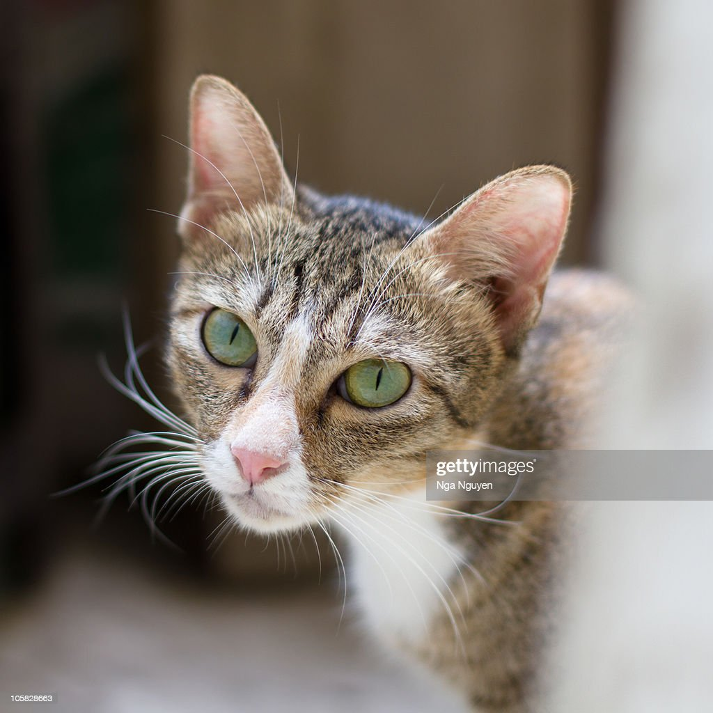 Green Eyed Calico Cat Stock Photo | Getty Images