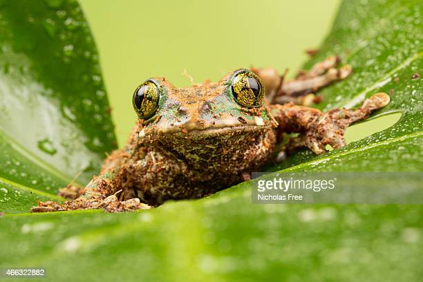 Green Eyed Tree Frog