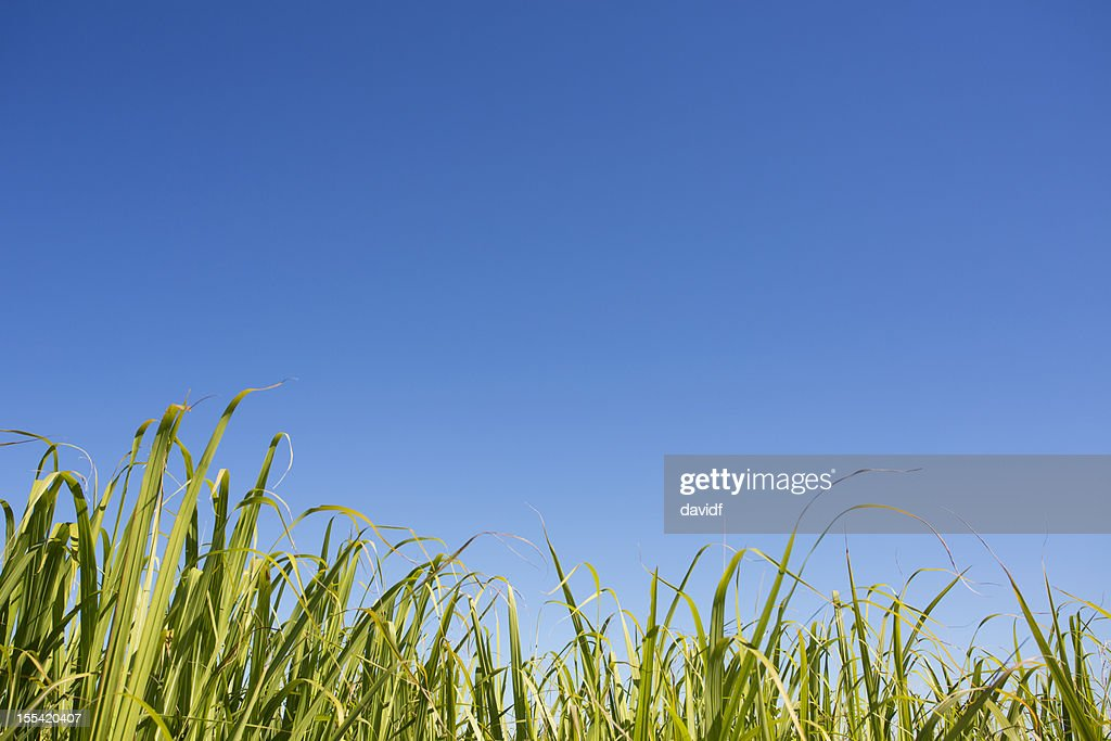 Green Farm Crop : Stock Photo