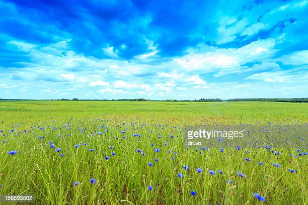 Green field with cornflowers
