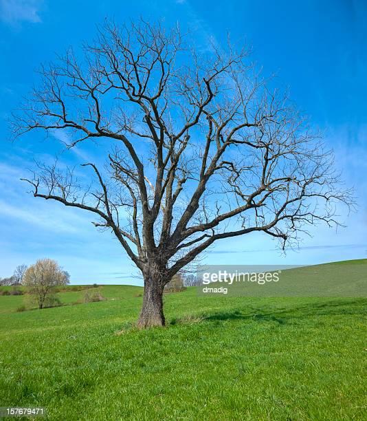 Champ vert avec arbre solitaire feuille moins au début du printemps
