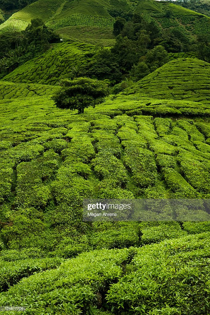 Green fields of tea : Stock Photo