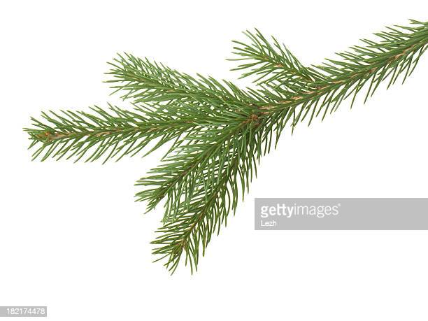 Green fir pine branch against white background