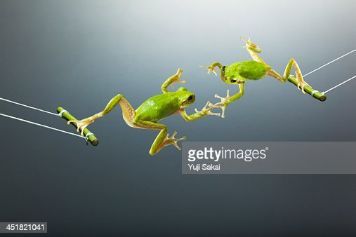 Green flogs swinging  facing each other : Stock Photo