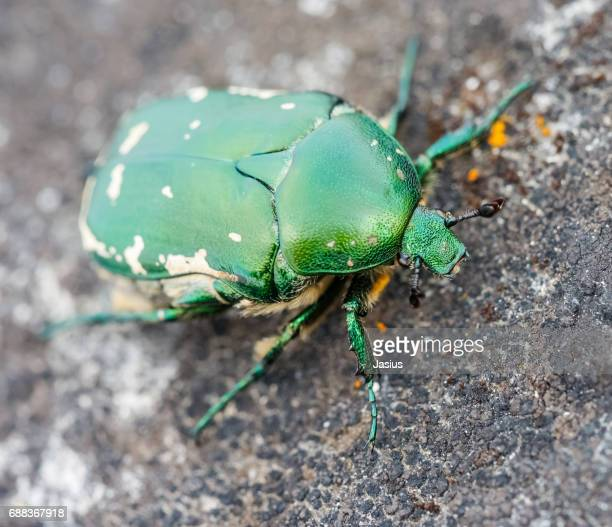Green flower chafer beetle