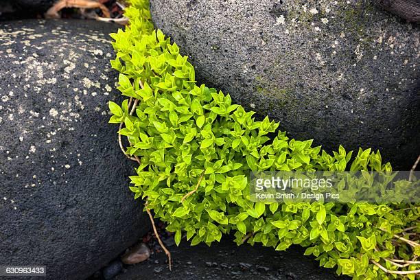 Green foliage growing in between dark Volcanic Rocks, St. Paul Island, Southwestern Alaska, USA, Summer