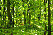 German beech forest with green plants on the forest ground in sunshine.