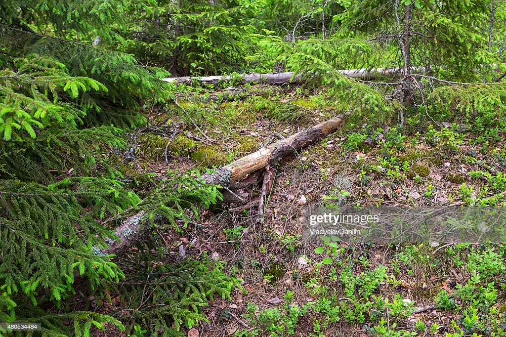Green forest : Stock Photo