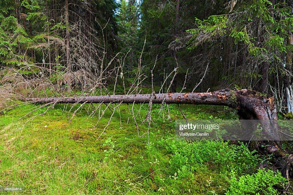 Grünen Wald Sommer : Stock-Foto
