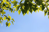 Green fresh leaves of trees on a clear blue sky