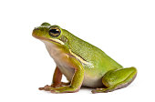 Green frog, isolated on white