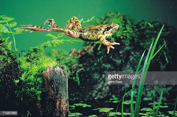 green frog jumping
