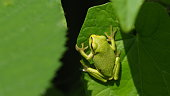 Tree frog in camouflage on a green leaf