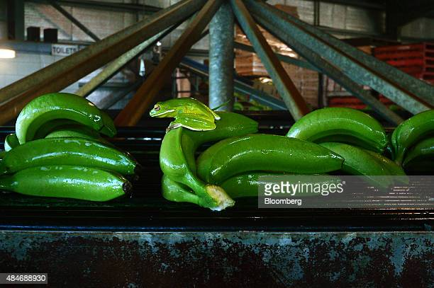 A green frog sits on freshly harvested bananas moving along a conveyor at the Liverpool River Bananas farm near Tully Queensland Australia on Tuesday...