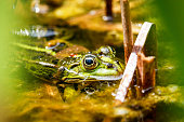 Green frog sitting in the pond in the garden
