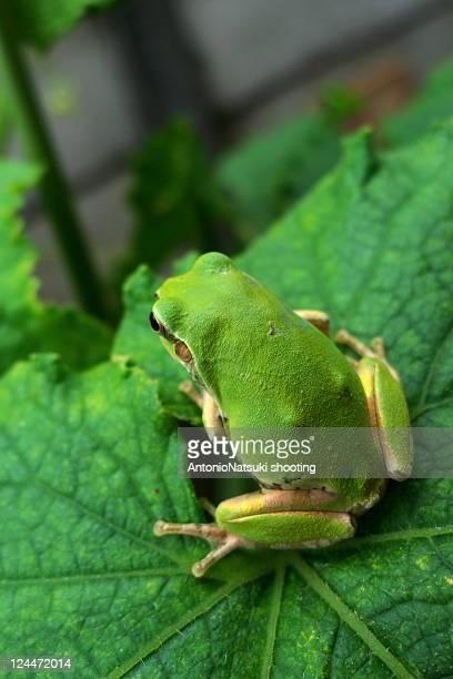 Green frog sitting on big leaf