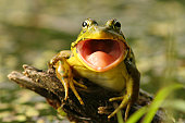 Green Frog with mouth open preparing to catch an insect