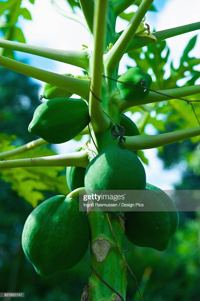 Green fruit growing on a stalk