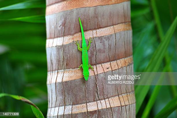 A green Gecko is seen on a palm at Vallee de Mai forest a UNESCO World Heritage site in Praslin island on March 6 2012 AFP PHOTO / ALBERTO PIZZOLI