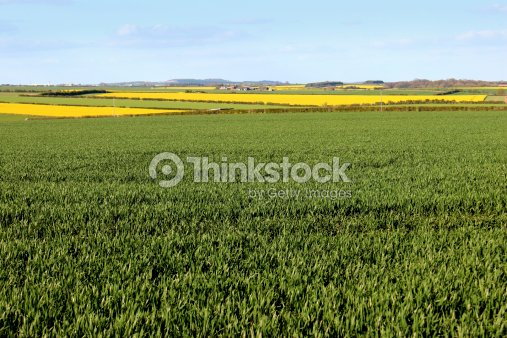 Green grain fields and oilseed rapeseed yellow flowers in spring green grain fields and oilseed rapeseed yellow flowers in spring stock photo mightylinksfo