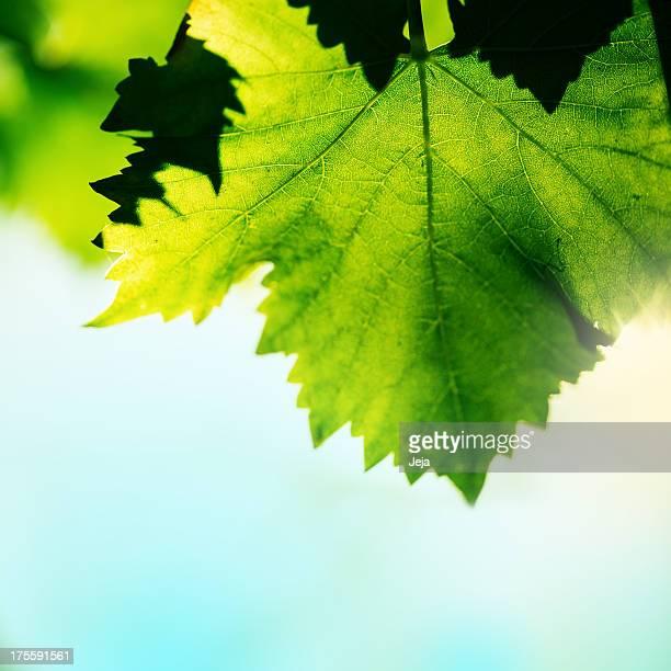 Vert feuille de vigne