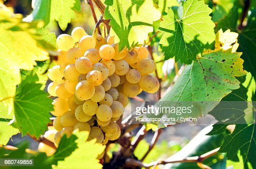Green Grapes In Orchard