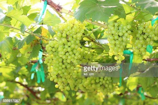 Verde uvas : Foto de stock