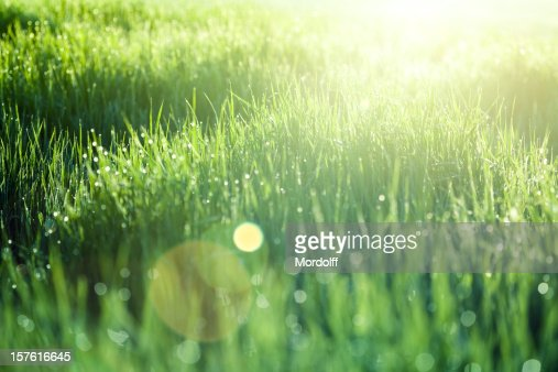 Green grass at sunrise