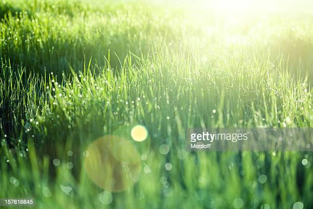 Grüne Gras bei Sonnenaufgang