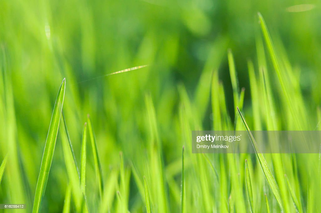 Green grass close up. : Stock Photo