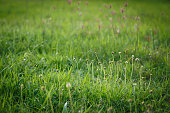 green grass flower field in the morning light, spring and summer concept background