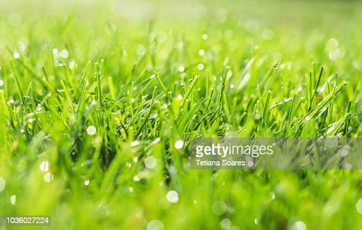 Green grass in morning dew. Selective focus. Close up shot with beautiful natural bokeh. Water drops after rain : Stock Photo