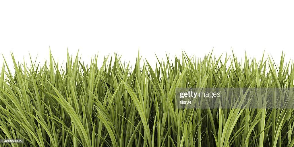 Verde hierba aislado sobre fondo blanco : Foto de stock