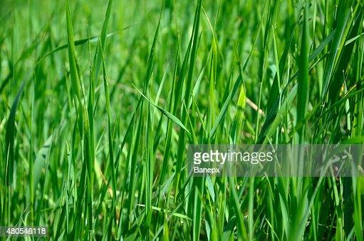 Relva verde : Foto de stock