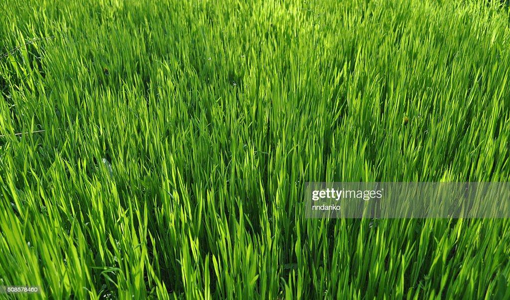 Green grass texture : Stock Photo