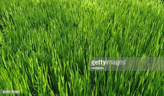 Trama di erba verde : Foto stock