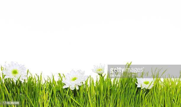 Green grass with camomiles