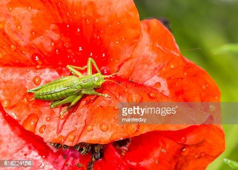 Green grasshopper sitting on a red poppy flower : Stockfoto