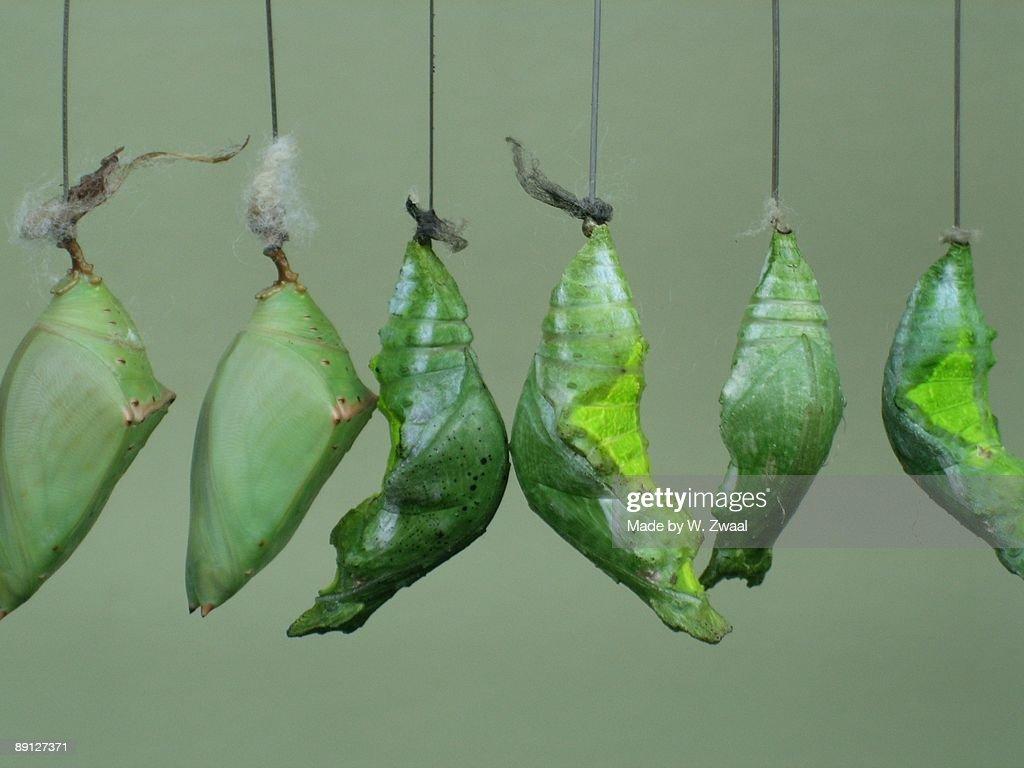 Green Hanging Pupa