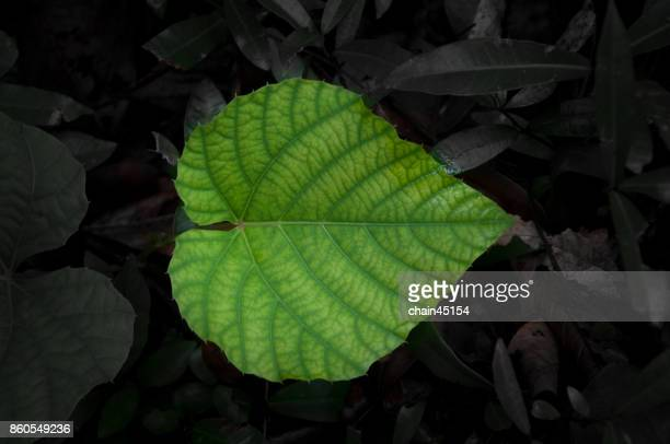 Green Heart leaf for Background in the forrest.