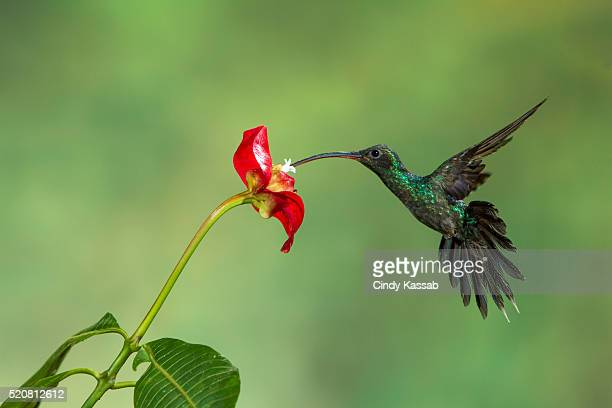 Green hermit hummingbird feeding on nectar in flower, Costa Rica, Latin America